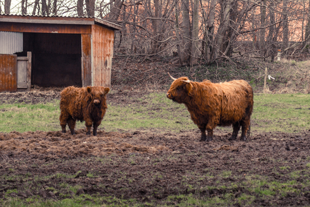 Highland cattle on a muddy field at a farm