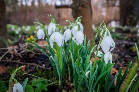 galanthus: Snowdrops in the garden in february at daytime