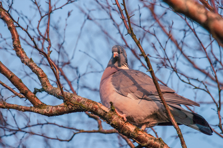 many branches: Pigeon in a tree with many branches in the winter Stock Photo