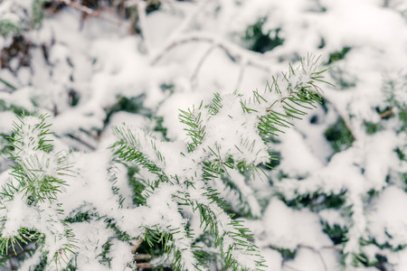 fir twig: Pine fir twig in the snow in the winter