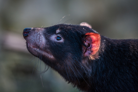 taz: Tasmanian devil close-up with a red ear