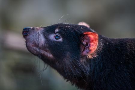 tasmanian: Tasmanian devil close-up with a red ear