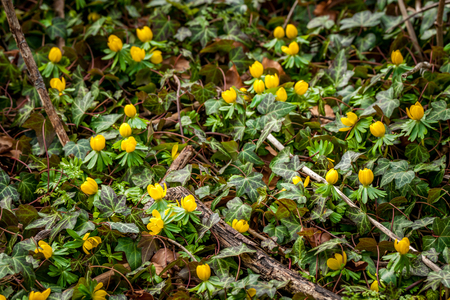 glory of the snow: Eranthis and ivy in the garden in the spring