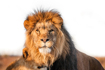 animales safari: Dos leones juntos en la sabana en la luz del sol