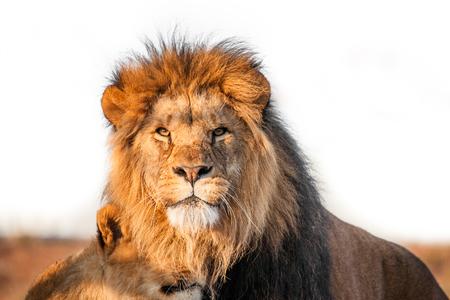 Twee leeuwen samen op de savanne in het zonlicht Stockfoto