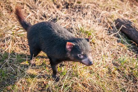 tasmanian: Tasmanian devil looking for food in the green grass Stock Photo