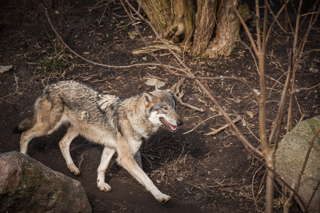 olfaction: Wolf walking in a forest in the autumn Stock Photo