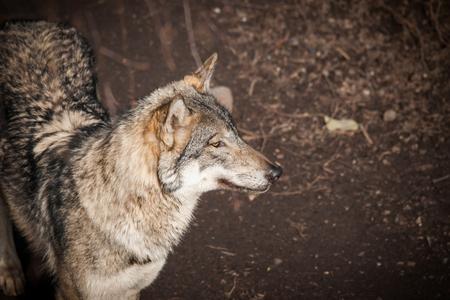 olfaction: Grey wolf in a dark forest in autumn