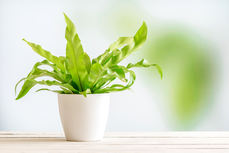 Green plant in a white flowerpot on a wooden desk