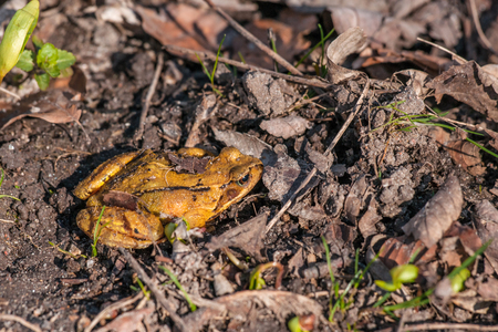 rana: Rana temporaria frog in orange color on the ground