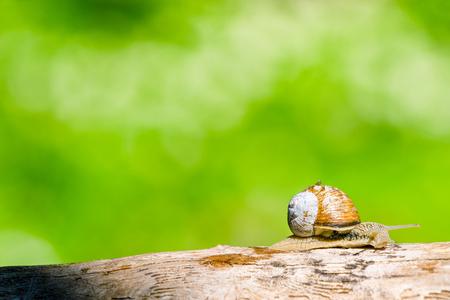 despacio: Caracol en un bosque en el rastreo de la primavera en una rama de madera