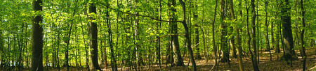 Beech forest scenery in the spring in panorama
