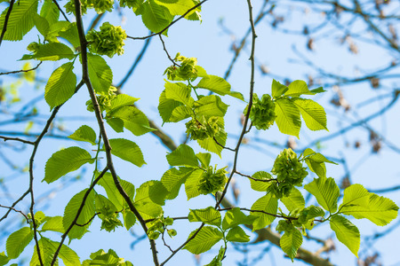 laevis: Green leaves on a elm tree in the spring