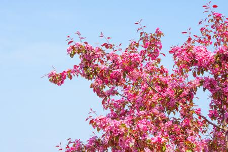 cerezos en flor: Cerezo con las flores de color violeta en el cielo azul Foto de archivo