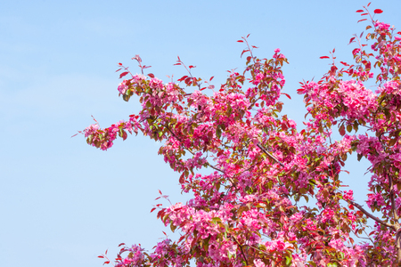 blossoms: Cherry tree with violet blossoms in blue sky