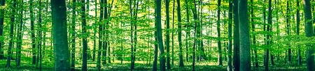 Panorama krajobraz lasu bukowego wiosną