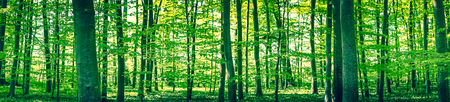 Panorama landscape of a beech forest in the spring 免版税图像