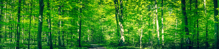 Green forest panorama with a trail in the spring