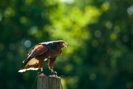 wooden post: Steppe eagle on a wooden post looking for prey Stock Photo
