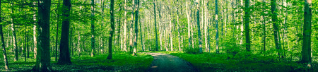Forest path surrounded by green trees in a panorama scenery Stock Photo