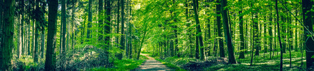 Green trees by a forest path in a spring panorama landscape