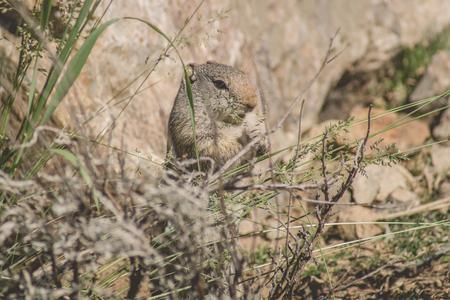 Uinta Ground Squirrel eating grass in a national parkl Stock Photo
