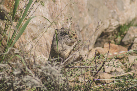 uinta mountains: Uinta Ground Squirrel eating local plants