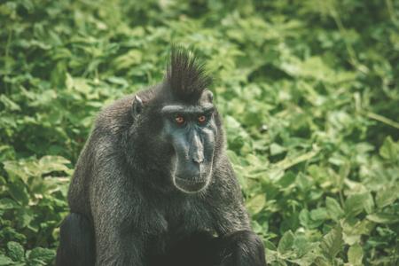 celebes: Macaca Nigra monkey sitting in green plants in nature