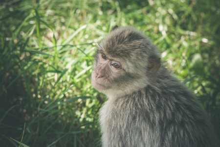 Macaca monkey in green grass in the summertime
