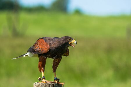 Harris hawk on a wooden pole in green nature