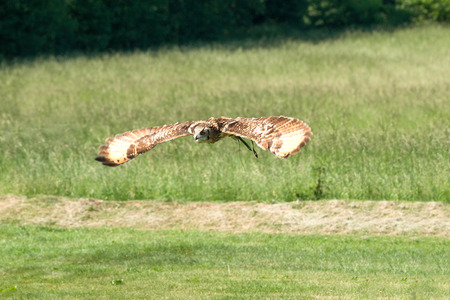 Horned owl flying over a green field in the summer