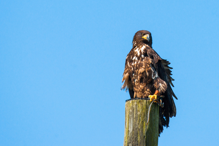 Haliaeetus albicilla eagle on the top of a wooden post on blue background