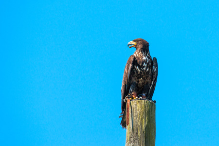 whitetailed: Haliaeetus albicilla eagle looking for prey on a wooden pole