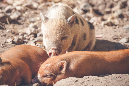 barnyard: Piglets taking a nap in the sand in a barnyard