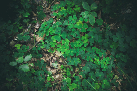 clovers: Clovers in green colors in the forest Stock Photo