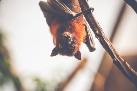 Bat hanging upside down and looking surprised Stock Photo