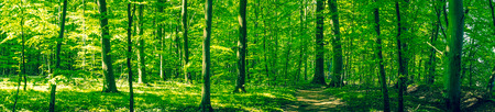 sunshine background: Beautiful green forest scenery in panorama in the summer