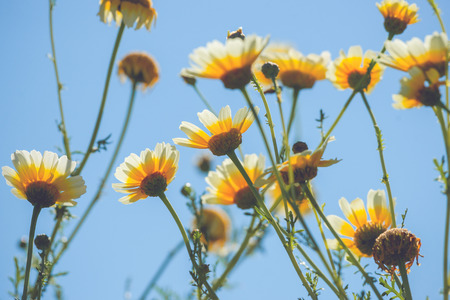 marguerites: Yellow marguerites in the summer in blue sky Stock Photo