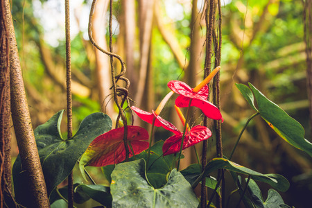 Anthurium flowers in a rainforest with green vegetation and lianas