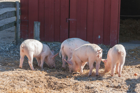 barnyard: Barnyard with four pink pigs looking for food in the summer