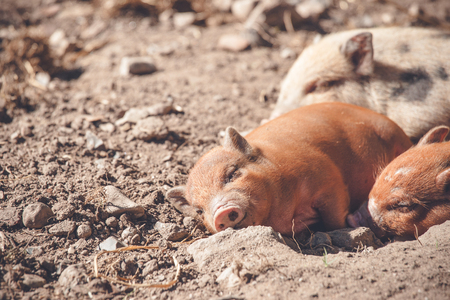 barnyard: Cute piglet sleeping in a barnyard in the summer