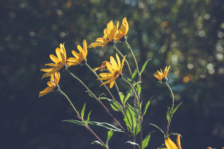 Yellow marguerites in the wind on dark bokeh background Stock Photo