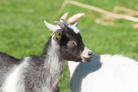 baby goat: Kid goat with black spots on a rural meadow in the spring