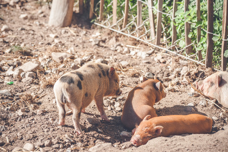 barnyard: Barnyard with cute piglets in the summertime