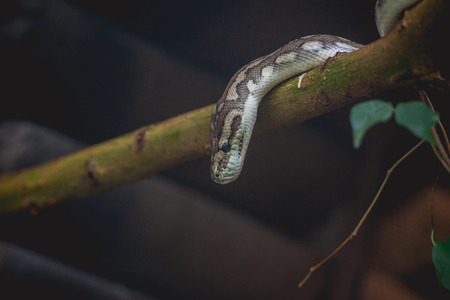 segmented bodies: Snake looking down from a tree in a dark forest