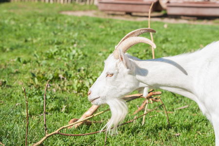 barnyard: White goat with horns in a barnyard with green grass Stock Photo