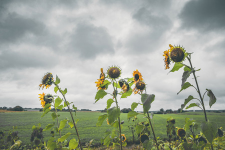 Withered sunflowers in cloudy weather on a field in the fall Stock Photo