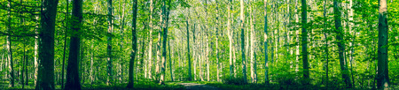 Danish forest with green trees in a springtime panorama landscape