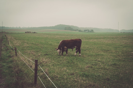 hereford: Hereford cow in a misty countryside landscape in autumn Stock Photo