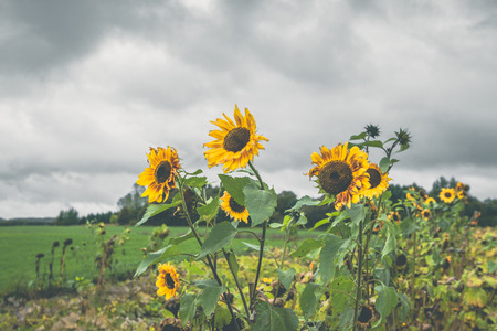Sunflowers on a field in cloudy weather in the fall